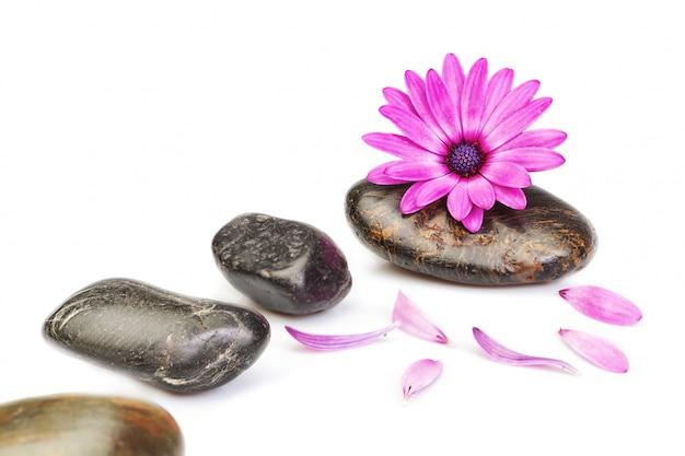 Steine für massage und blume osteospermum auf einem weißen hintergrund für ein spa.