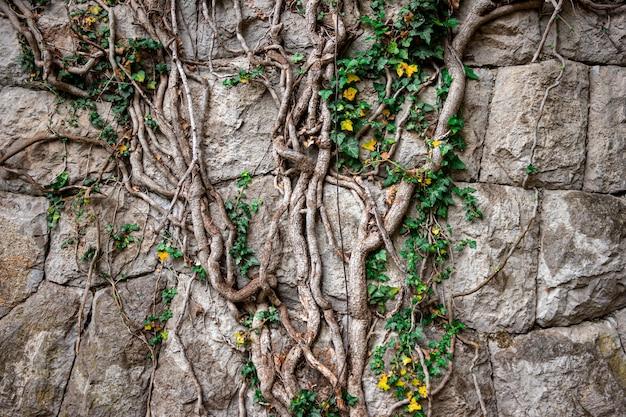 Steinmauer mit efeu bedeckt. eine alte mauer mit einer pflanze. kletterpflanze.