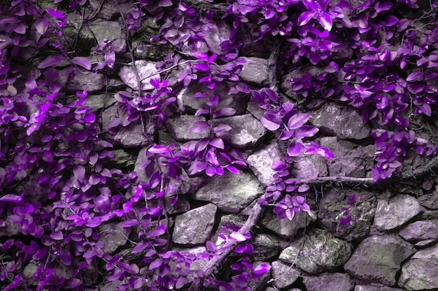 Steinmauer mit efeu in schönen schattierungen von lila.