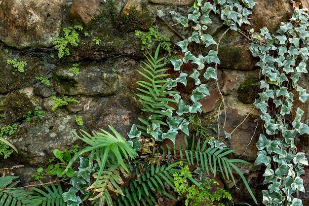 Steinmauer mit kletterpflanzenhintergrund.