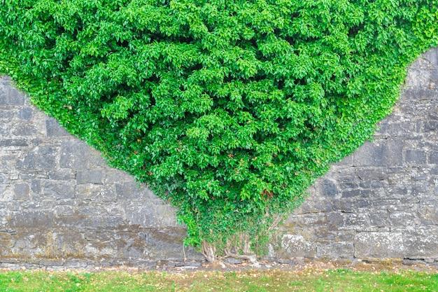 Steinmauer mit pyramidenförmiger efeupflanze bewachsen.