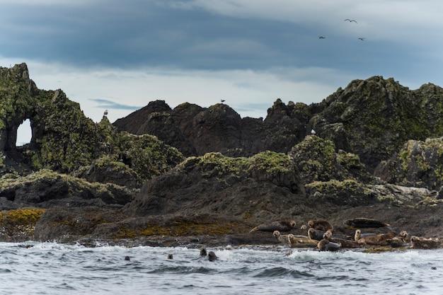 Steller-seelöwen (eumetopias jubatus) auf der küste, regionaler bezirk skeena-königin charlotte, haida