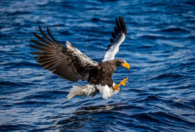 Stellers seeadler zum zeitpunkt des angriffs auf den fisch vor dem hintergrund des blauen meeres