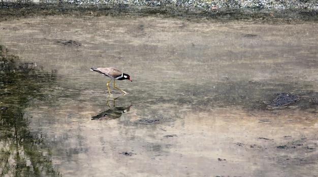 Stelzenläufer (himantopus himantopus).