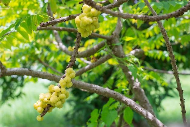 Sternstachelbeerfrucht. phyllanthus acidus,