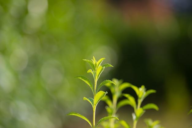 Stevia pflanze, gesunder süßstoff und natürlicher zuckerersatz. selektiver fokus auf jungen üppigen grünen blättern durch biologischen landbau. sehr geringe schärfentiefe.