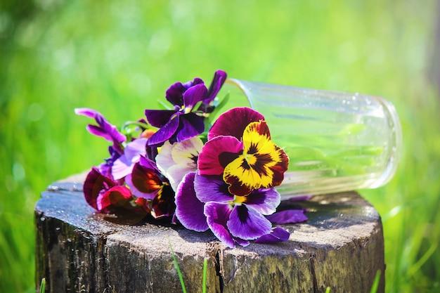 Stiefmütterchen blühen blumen. selektiver fokus. flora und fauna.