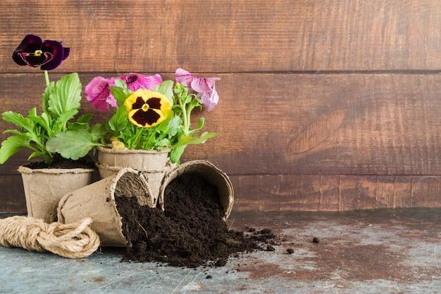 Stiefmütterchenanlagen gepflanzt in den torftöpfen gegen hölzerne wand auf konkretem schreibtisch