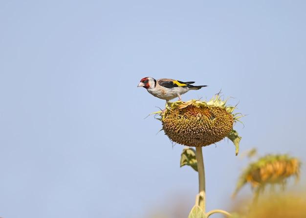 Stieglitz sitzt auf einem sonnenblumenkopf und frisst unreife körner.