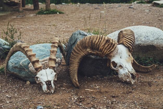 Stillleben mit zwei kuhschädeln mit großen hörnern hautnah. hintergrund mit kuhschädeln im vintage-stil. nahaufnahme von tierskeletten in der wüste. sammlung von tierknochen. dekoration mit zwei totenköpfen.