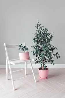 Stilvoller raum mit zwei blumen-ficus-bäumen in rosa töpfen und einem weißen stuhl-hausgartenkonzept minimalistisches interieur urban jungle botany hausgarten