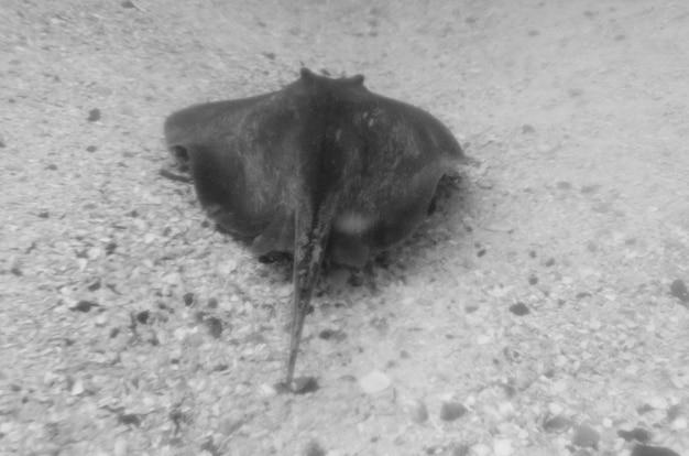Stingray unterwasser, san cristobal island, galapagos-inseln, ecuador
