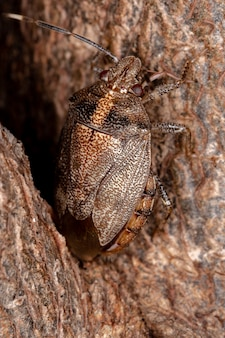 Stinkbug der gattung antiteuchus