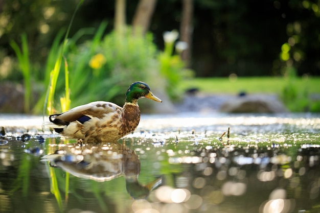 Stockente, die im teich im park schwimmt
