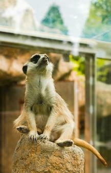 Stolzes meercat sitzt auf einem felsen