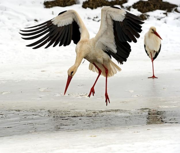 Storch in seinem natürlichen lebensraum