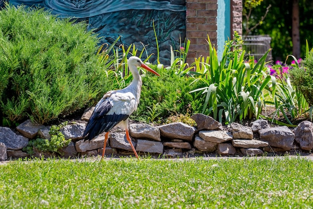 Storch läuft bei sonnigem wetter um das gras des parks