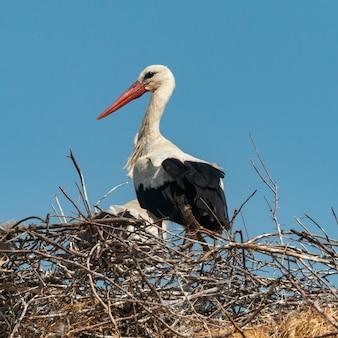 Storch steht in seinem nest. ciconia ciconia.