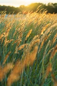 Strand trockenes gras schilfstiele, die auf dem wind bei goldenem sonnenunterganglichtsommerhintergrund wehen