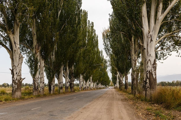 Straße mit pappeln, karakol, kirgisistan
