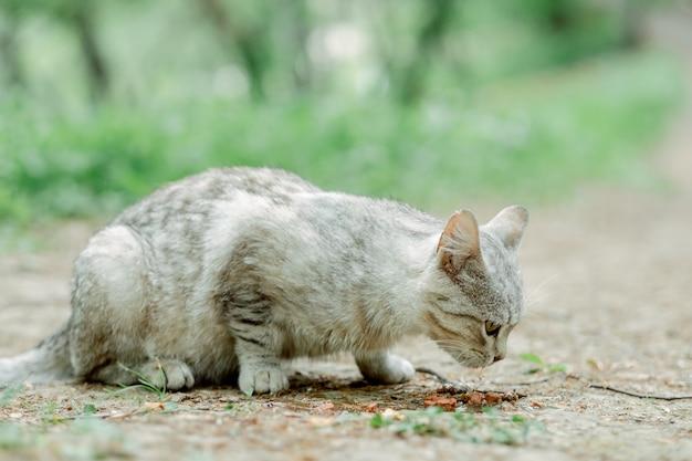 Straßenkätzchen, das katzenfutter isst. britische katzenmischung. hellgraue katze im freien nahaufnahme isst nahrung. straßenkatze