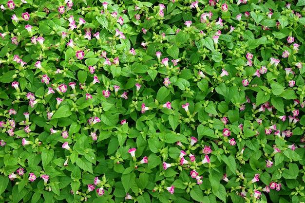 Strauch der wishbone blumen oder torenia fournieri im garten