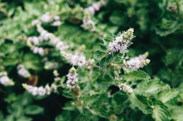Strauch duftender minze mit blütenstand