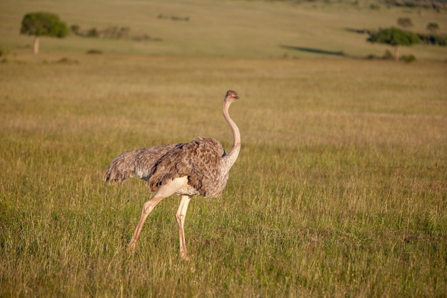Strauß, der auf savanne in afrika geht. safari. kenia