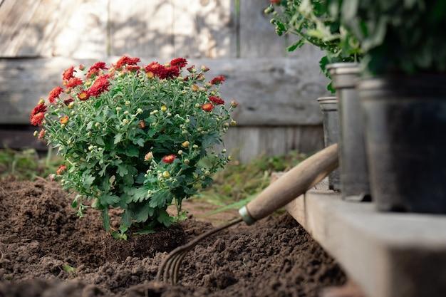 Strauß der roten chrysanthemen während einer transplantation im frühlingsgarten mit einer holztür im hintergrund
