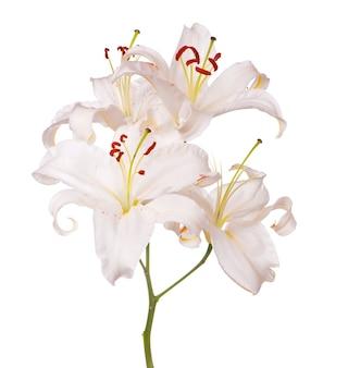 Strauß der weißen lilien lokalisiert auf weißer oberfläche
