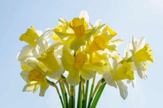 Strauß gelber und weißer frühlingsnarzissen in heller hintergrundbeleuchtung. narzisse