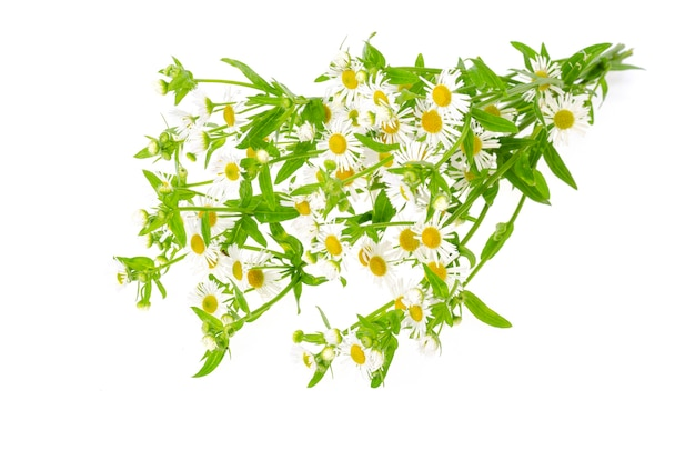 Strauß kleiner weißer herbstgänseblümchen.