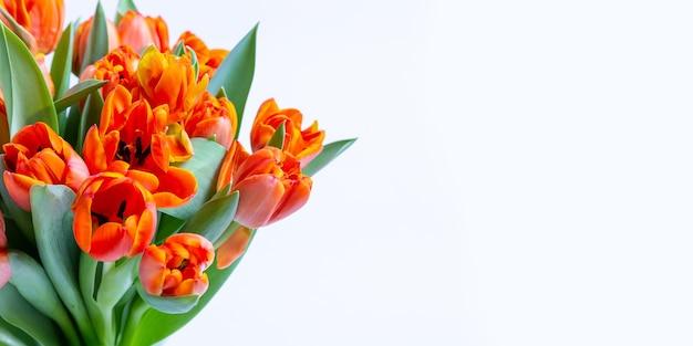 Strauß rot-gelber tulpen an einer weißen wand. kopieren sie platz für text, flach legen. banner. nahansicht.