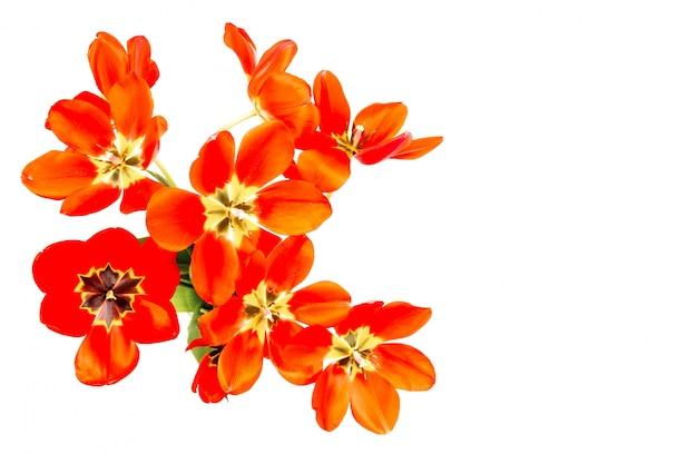 Strauß roter tulpen mit offenen knospen lokalisiert auf weißem hintergrund, kopierraum der draufsicht