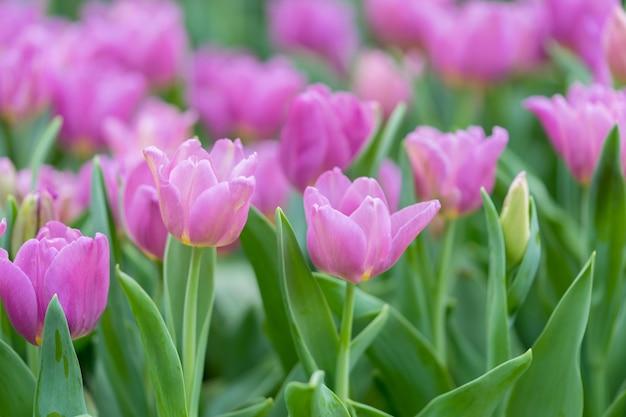 Strauß tulpen (tulipa spp. l.) mit licht durch das fenster