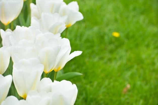 Strauß weißer tulpen auf dem grünen gras