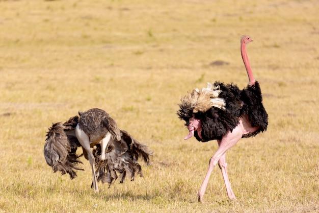 Strauße nach dem liebesspiel. masai mara nationalpark, kenia, afrika.