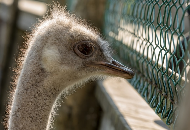 Straußvogel in der gefangenschaft, die durch einen maschendrahtzaun schaut