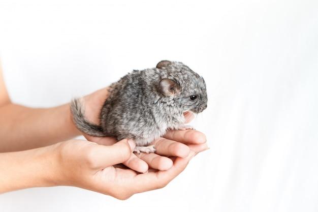 Streicheln sie graue babychinchilla an hand auf lokalisiertem weißem hintergrund. das konzept der zucht