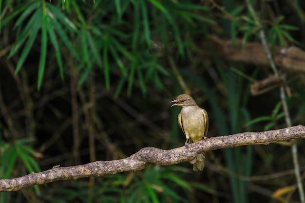 Streifen-ohriger bulbul (pycnonotus blanfordi) in der natur von thailand
