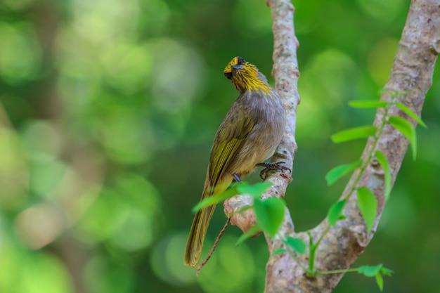 Streifen-throated bulbul bird, stehend auf einer niederlassung in der natur