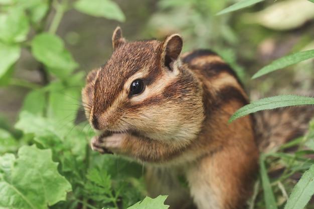 Streifenhörnchen in der natur