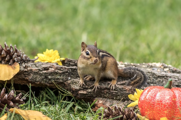 Streifenhörnchen posiert mit rustikalem herbstdekor