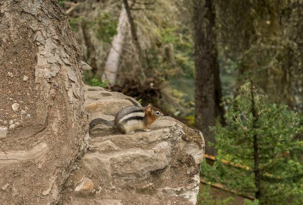 Streifenhörnchen sitzt am rand einer klippe. schöne schlucht, schöne farben. johnston canyon, alberta, kanada