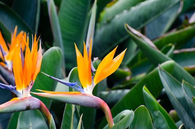 Strelitzia reginae blumennahaufnahme (paradiesvogelblume).
