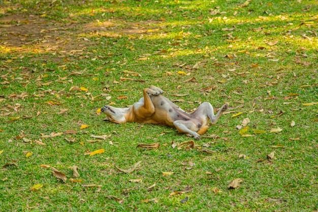 Streunender hund, der auf grünem yard plaing ist