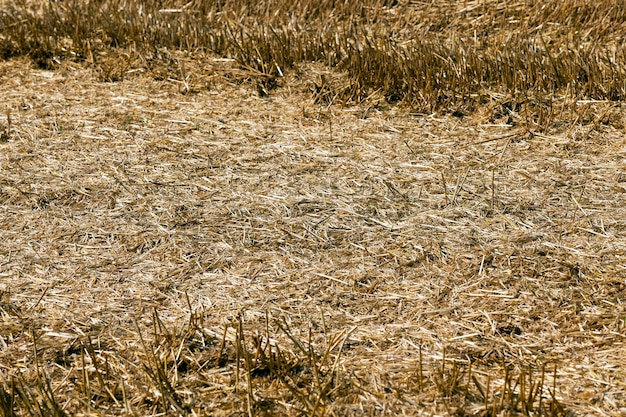 Stroh auf dem feld - landwirtschaftliches feld, auf dem im sommer weizen geerntet wurde