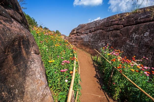 Strohblume von buntem schönem auf natur des grünen grases im garten mit klippe von bergen
