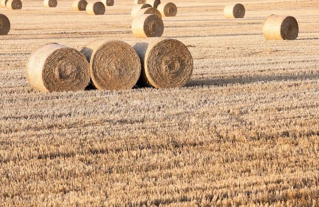 Strohstapel auf dem feld - landwirtschaftliches feld, auf dem nach der weizenernte strohheuhaufen lagen, getreidefeld, landwirtschaft und bio-lebensmittel, herbstsaison