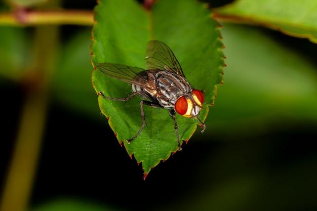 Stubenfliege (musca domestica) auf grünem blatt.